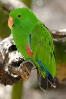 eclectus-male-2.jpg